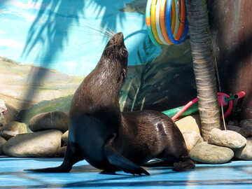 Fur Seals at the dolphinarium №25456