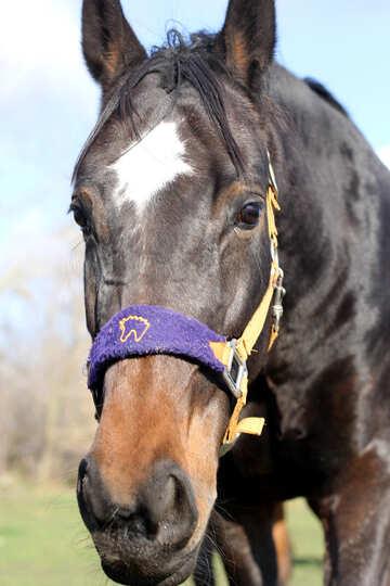 Muso di cavallo №25831