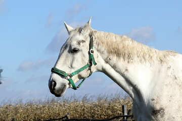 Gray horse №25826