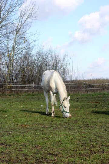 Gray horse walks №25815