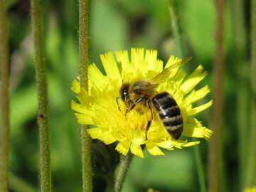 Biene auf Blume №25015