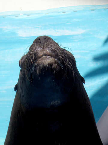 Snout sea lion №25392