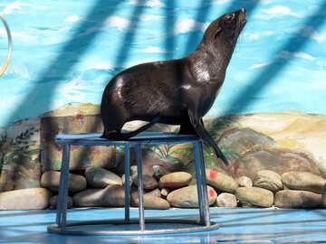 Fur Seal in circus №25461