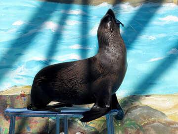 Fur Seal in circus №25475