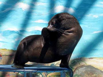 Fur seal hides face №25453