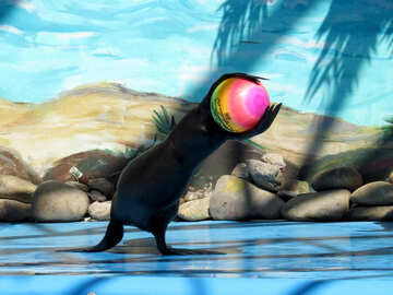 Fur seal caught the ball №25447