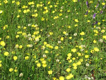 Dandelions in the grass №25016