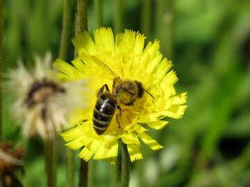 Bee on yellow flower №25013
