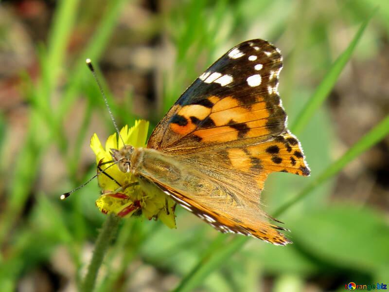 Orange butterfly №25924