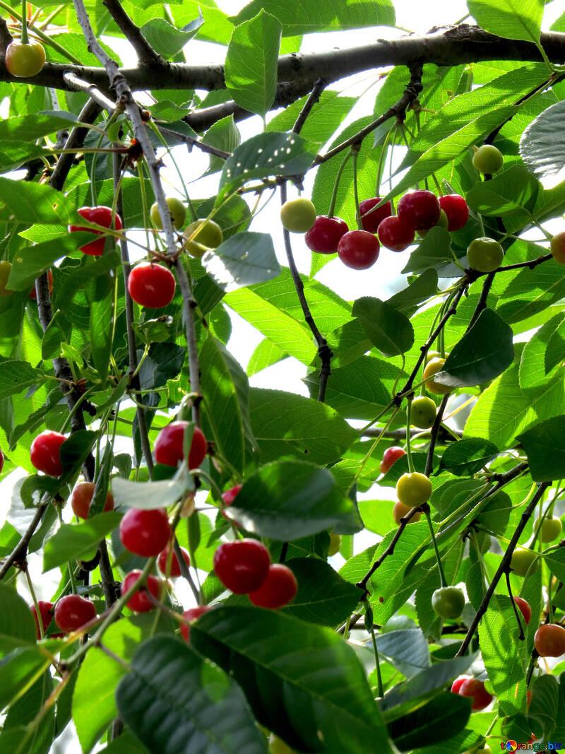 Cherry garden №25987