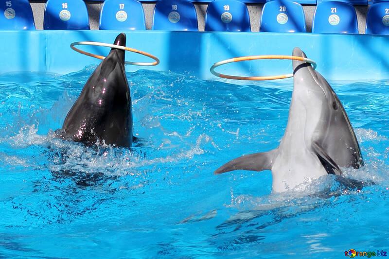 Delfini giocano con hula hop №25533