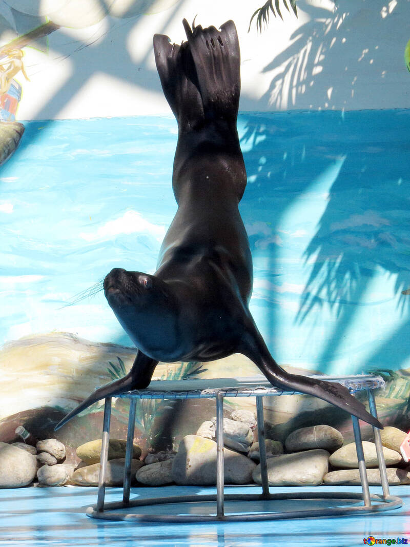 Sea lion is on the front flippers №25398