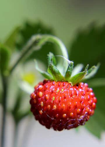 Big strawberry berry №26005