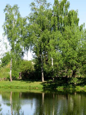 Abedul y Lago №26572