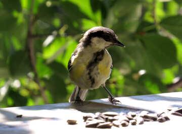 Dodgy bird titmouse №26871