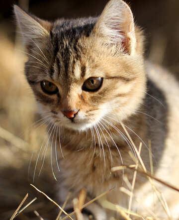 Kitten №26068