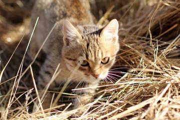 Kitten on hay №26073