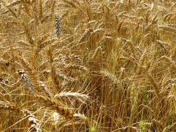 Crops №26838