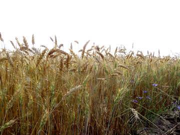 Wheat field №26851