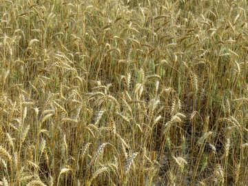 Rich grain harvest №26825