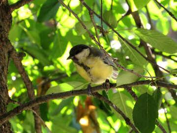 Tit on tree №26868