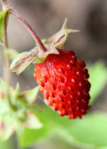 Strawberries №26042