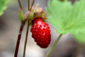 Strawberries №26053