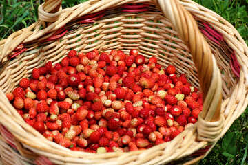 Harvesting strawberries №26026