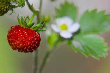 Sweet strawberries №26012