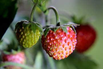 Strawberry №26019