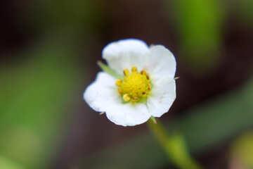 Strawberry flower №26056