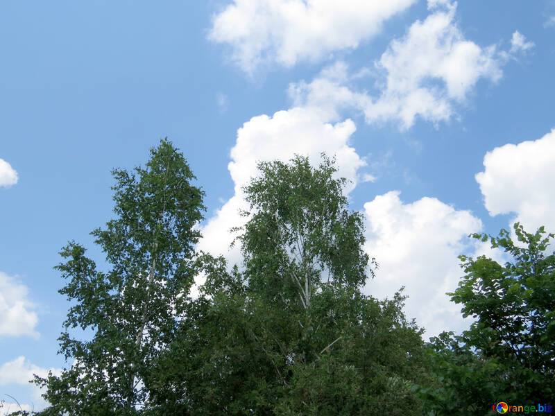 Береза и небо №26642