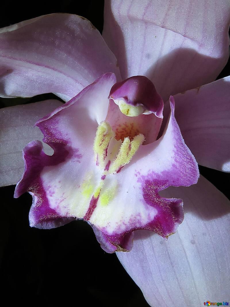 Orchidee Nahaufnahme №26607