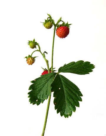Strawberries on white background №27528