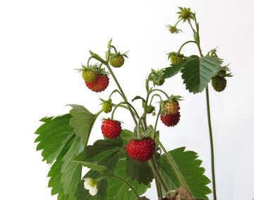 Strawberries on white background №27532