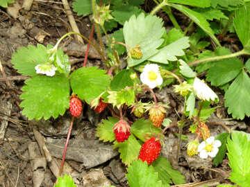 Varietal strawberries №27585