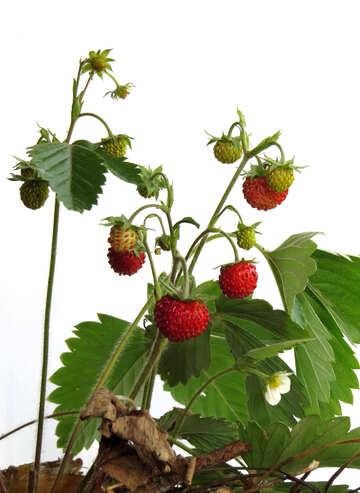 Wild strawberries №27533