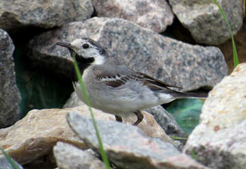 Bird walks on the rocks №27400