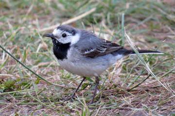 Bird wagtail №27405