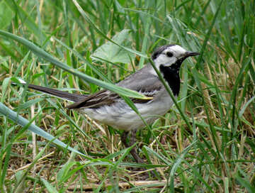 Wagtail in the grass №27397
