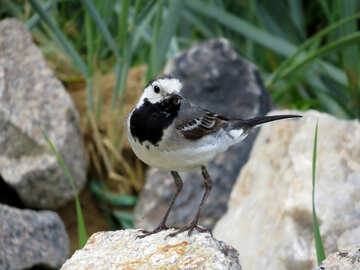 White Wagtail №27402