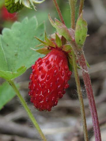 Strawberries macro №27637