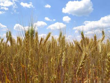 Cereals spikelets №27262