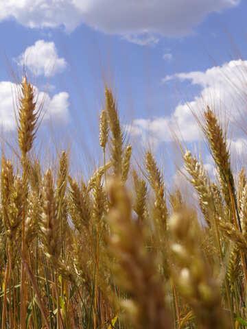 Cornfields №27238