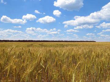 Kolositsâ wheat №27266