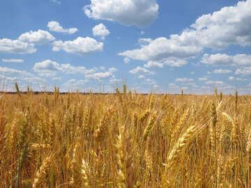 Wheat №27248
