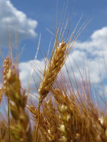 Wheat №27236