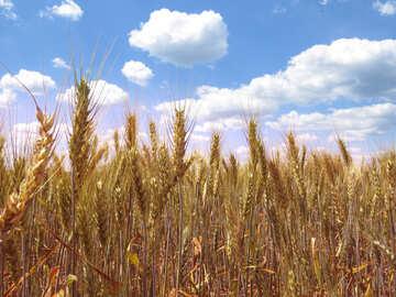 Wheat №27270