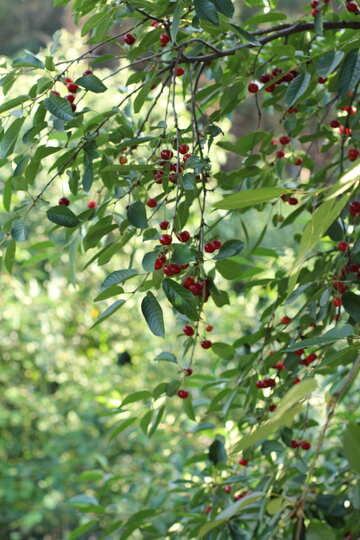 Varietal cherry №27151