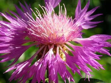 Garden cornflower №27061